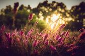 levandulové pole v Provence s západ slunce