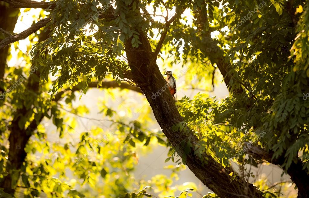 red woodpecker sitting on big tree at sunset