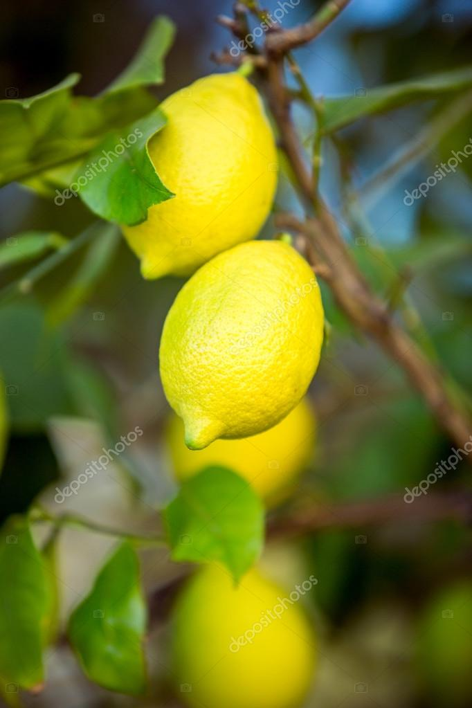fresh ripe lemons hanging on tree branch at garden