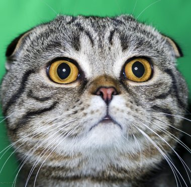 cat  Scottish lop-eared