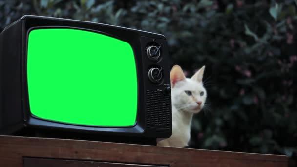 Fehér Macska és Vintage Television Set zöld képernyővel. Közelről. Közelíts rá. Kicserélheti a zöld képernyőt a felvételre vagy képre, amit akar. Meg tudod csinálni a Keying hatás After Effects vagy bármely más videó szerkesztő szoftver (nézd meg útmutatók).