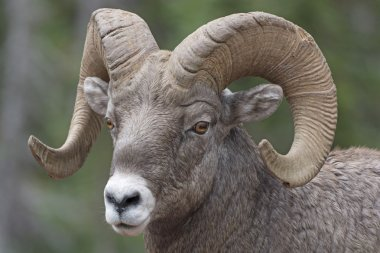 Close-up of a Big Horn Sheep