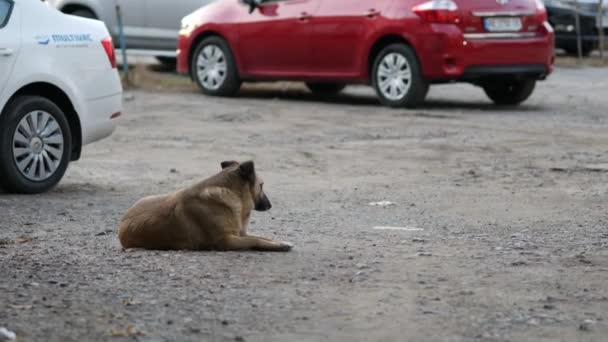 Sheepdog lies among the parked cars. The dog guards the cars in the parking lot.