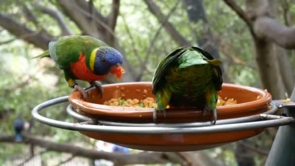 Eclectus papagáj madár etető erdőben Loro Park, Tenerife, Kanári-sziget,
