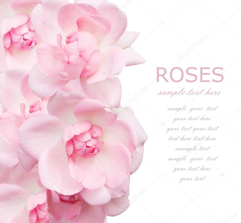 wedding pink roses background isolated on white with