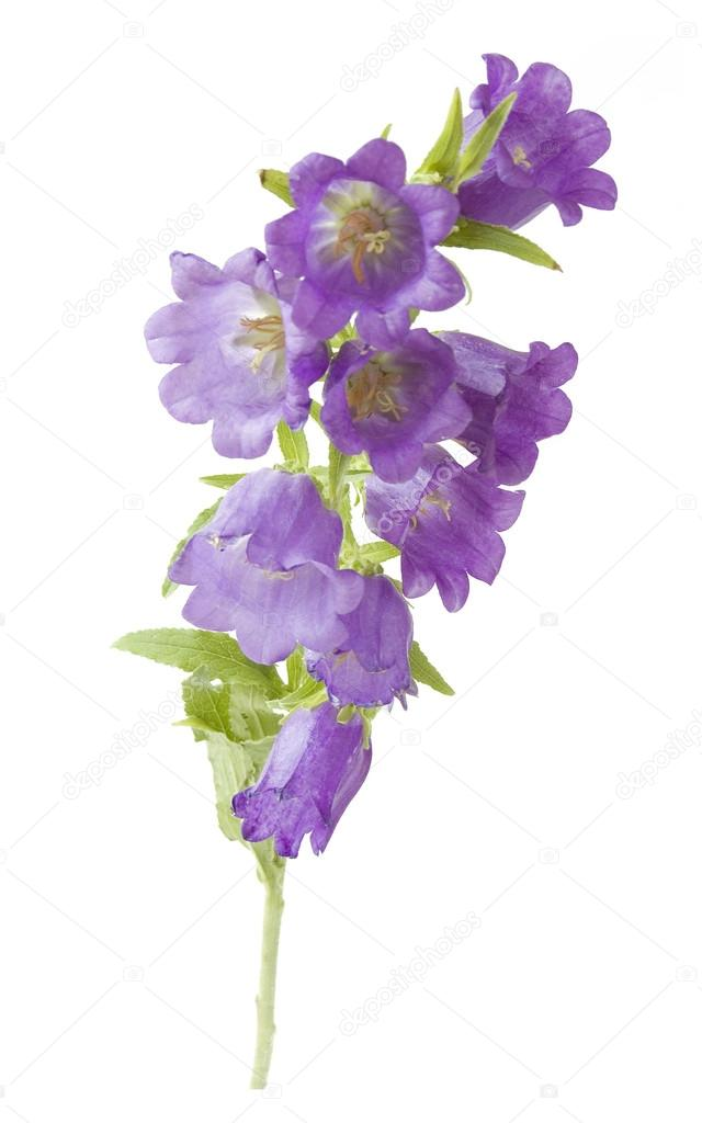 Bluebells flowers closeup isolated on white background stock photo bluebells flowers closeup isolated on white background photo by lesslemon mightylinksfo