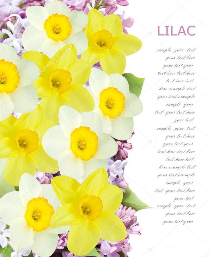 Сирень и нарцисс цветы фон изолирован на белом фоне с ...
