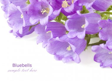 Bluebells flowers background isolated on white with sample text