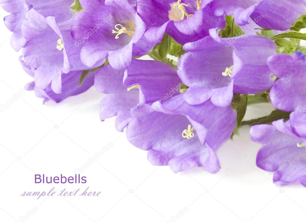 Bluebells flowers background isolated on white with sample text bluebells flowers background isolated on white with sample text photo by lesslemon mightylinksfo