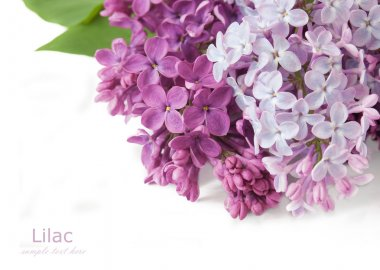 Lilac flowers bunch isolated on white background with sample text