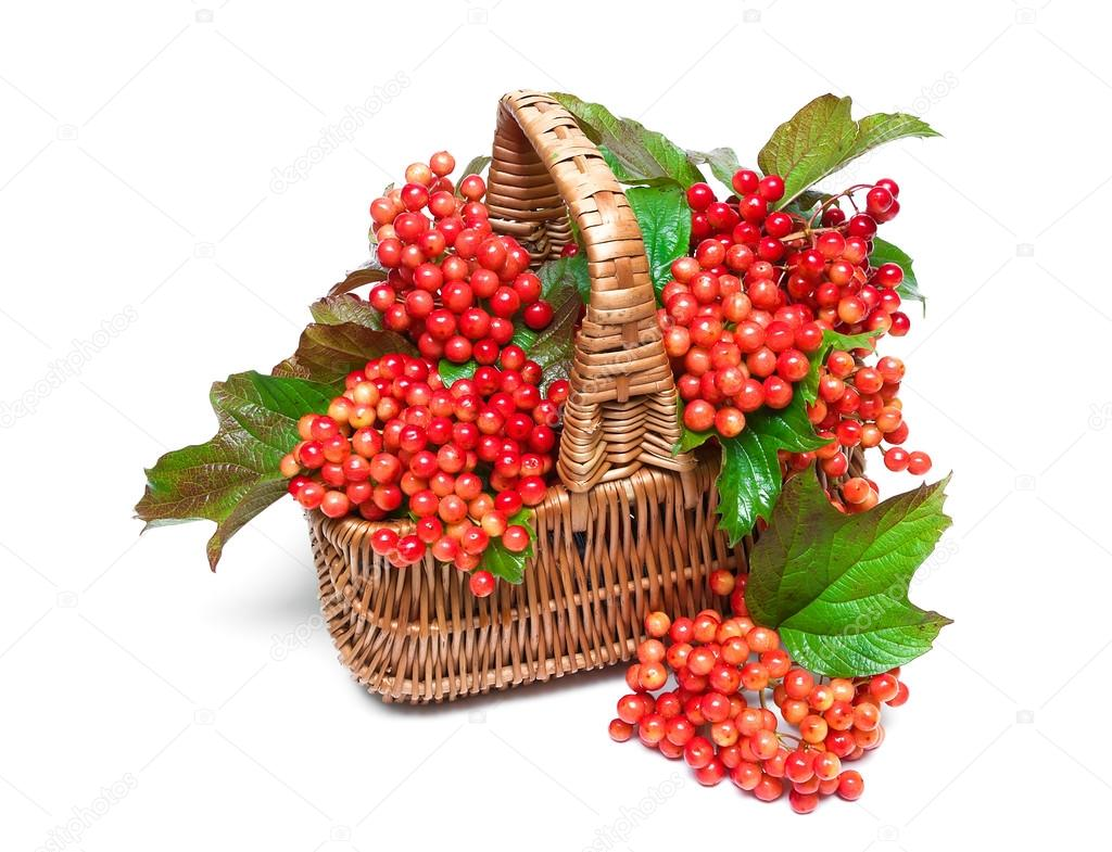 ягоды калины в корзине на белом фоне — Стоковое фото ...