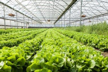 Organic salad in greenhouses