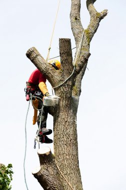 Arborist cutting a tree
