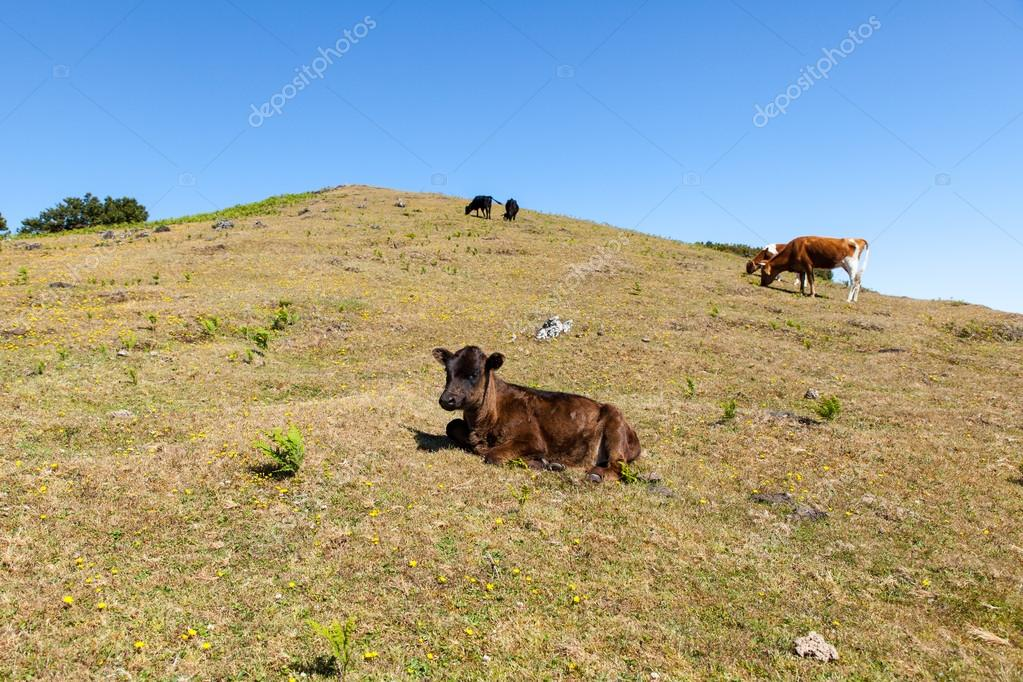 Cows and veal pasture