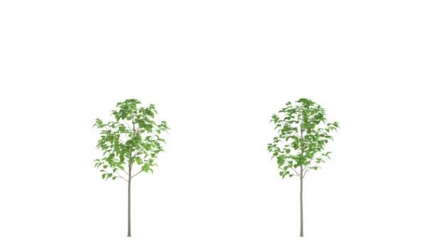 Rostoucí zahradní stromy. HD animace. V izolaci