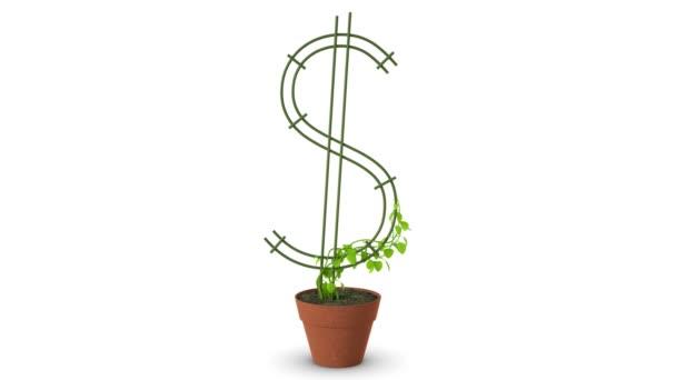 Bonsai. Dolaru strom. Růst dolaru stromu. Izolovaný