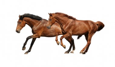 Two brown horses running fast isolated on white