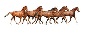 Herd of horses running free on white background
