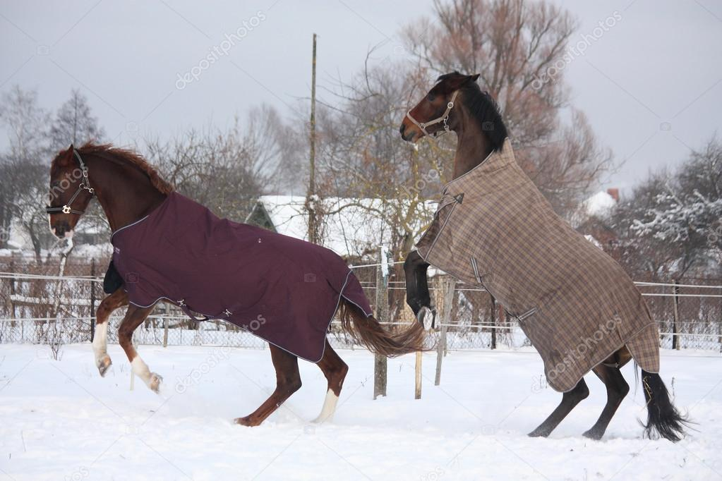 Two horse rearing in the snow