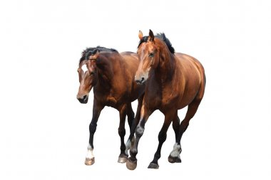 Two brown horses trotting fast isolated on white