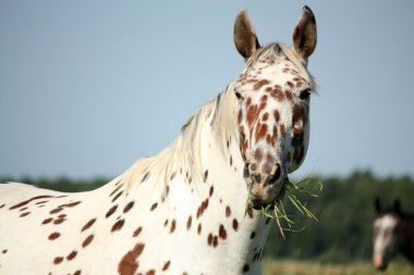 Portrait of knabstrupper breed horse - white with brown spots