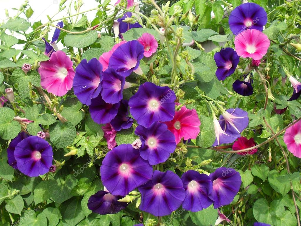 Multi-colored flowers of Ipomoea close up.