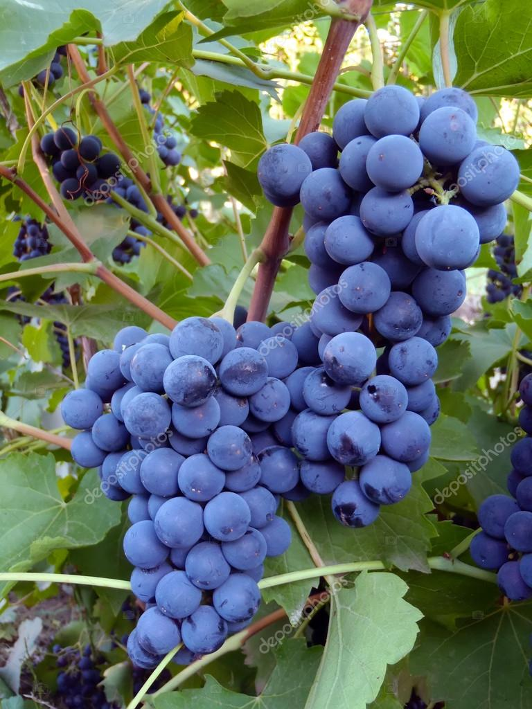 Blue grapes of a grade Isabella on a rod close up.