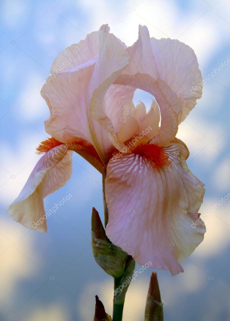 Peach bearded iris on a light background close up.