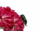 May-bug auf einer Rose, Makro.