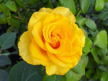 Yellow rose in a garden, macro