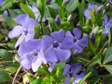 Blue flowers of Periwinkle (Barvinok, Vinca) close up.