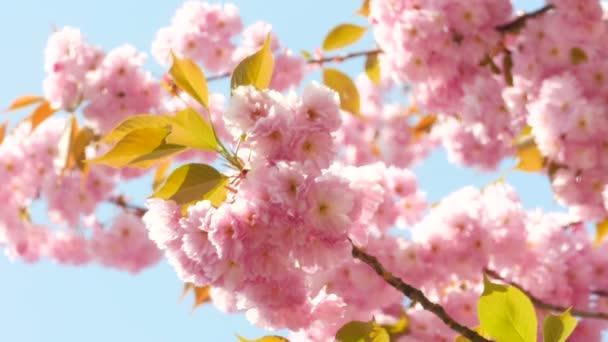 Květinka sacura v létě nebo jarní sluneční obloha pozadí