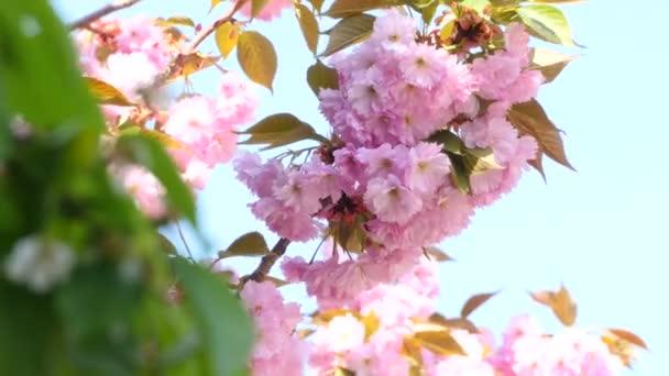 Sacura Blossom Inflorescence