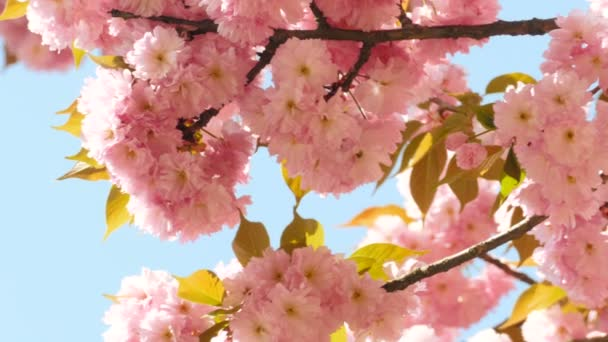 Květinka sacura na modrém nebi pozadí