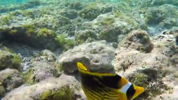 Rainbow Wrasses and Surgeonfishes and Butterflyfishes