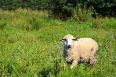"""Картина, постер, плакат, фотообои """"овцы на пастбище """", артикул 122732416"""