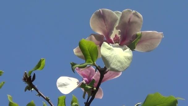 Květ Magnolie růžová