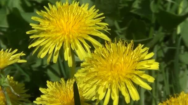 Yelow dandelions in grass