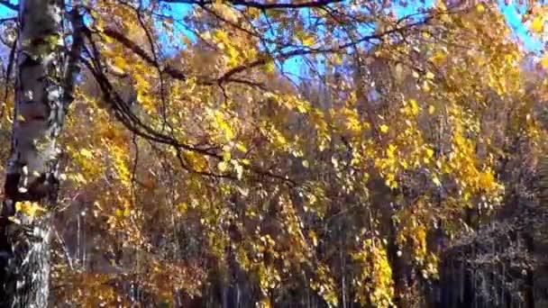 Zweig der Birke