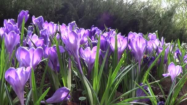 Purple crocuses on flowerbed