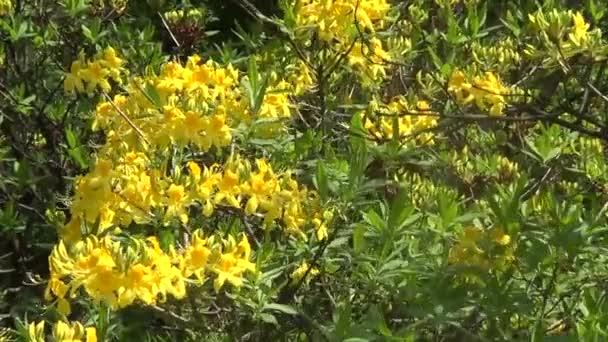 žlutý rododendron květiny