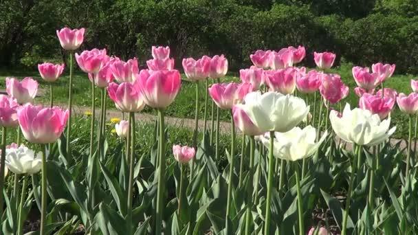 rózsaszín és fehér tulipánok