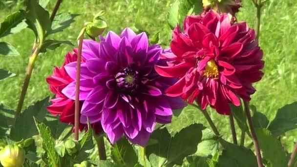 Two dahlias violet and crimson