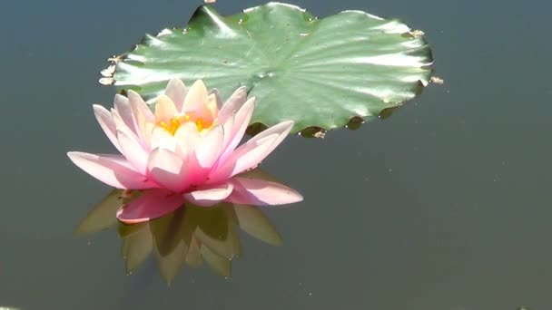 Pink waterlily on water