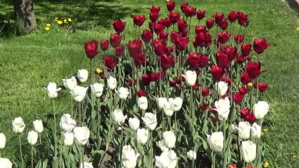 červené a bílé tulipány