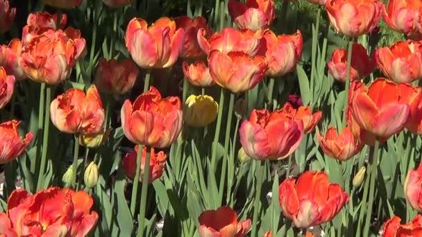 záhonu s červenými tulipány