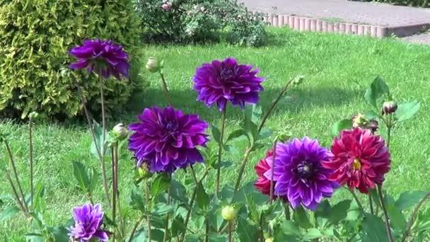 Violet and crimson dahlia