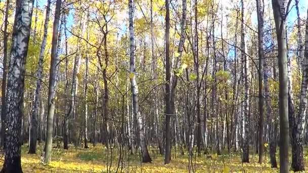 podzimní březový les