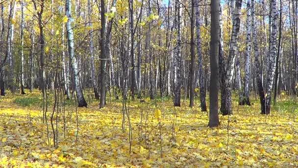 březový les na podzim