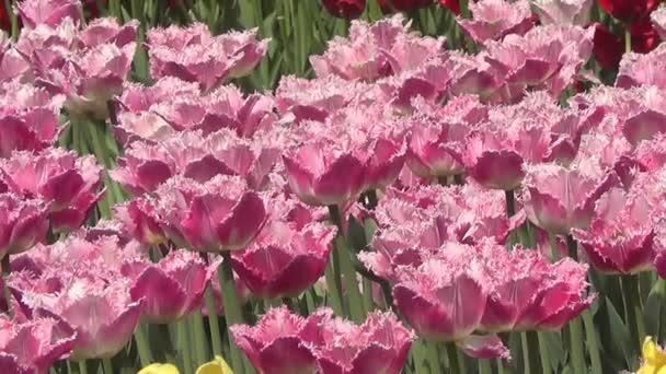 Růžové tulipány na záhonu